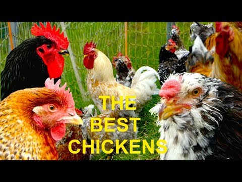 TOP 20 The best chicken breeds for self-sufficient farming -