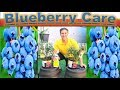 All About BLUEBERRY CARE & PLANTING - in detail |  Better in POTS than In-Ground???!!!