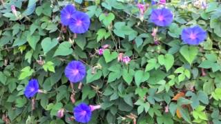 Ipomoea indica - Blue Dawn Flower (Morning Glory)