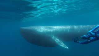GoPro: The Search for the Blue Whale - A Prelude to 'Racing Extinction'