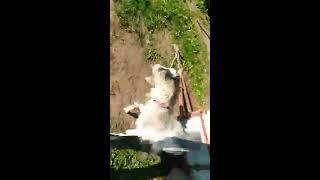 (26) Odc Nowa koza w hodowli zapraszam do obejrzenia☺