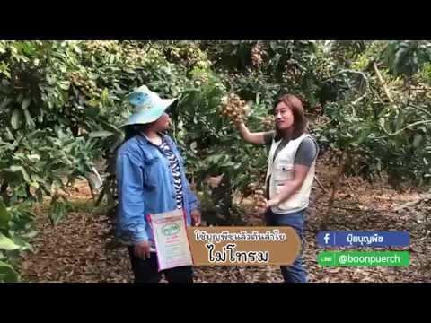 พี่ต้อย สวนลำไย อ สอยดาว จันทบุรี