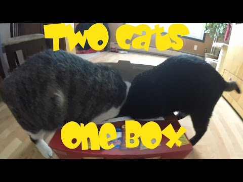 Cats Fight over Box