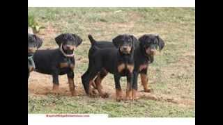 How To Potty Train A Doberman Puppy | FREE MINI COURSE
