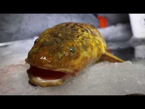 Ice Fishing For HUGE Burbot!
