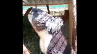 What noise does a koala make?