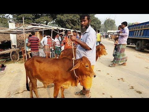 681।উন্নত জাতের ষাঁড় বাচ্চুর কিনুন। Good quality cow seller interview 2018