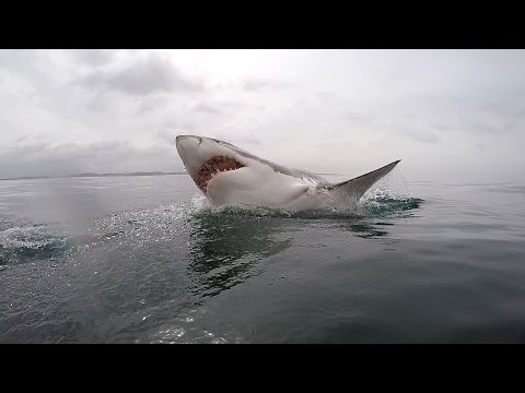 Great White shark diving - South Africa