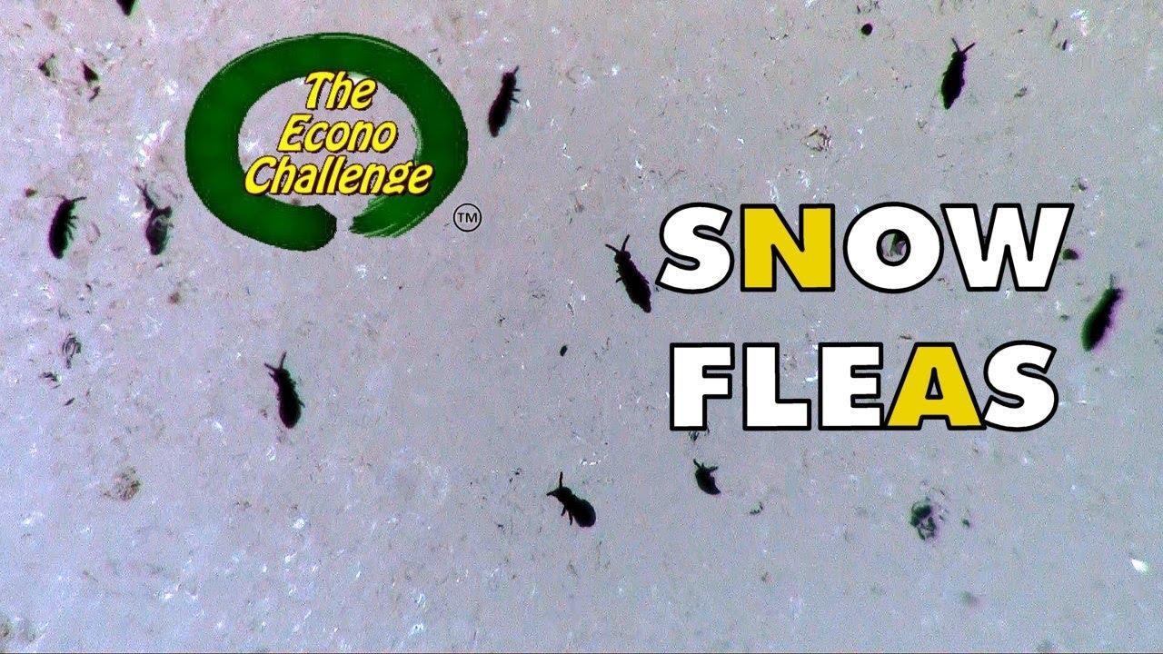 Snow Fleas - Springtails - Econo Challenge