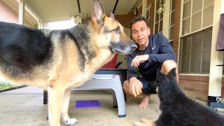 GSD Food Training | Indian Vlogger | Hindi Vlog | German Shepherd | This Indian GSD