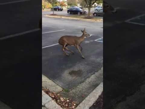 Rabid Deer going in circles