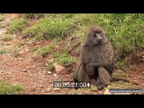 Ethiopia - Baboons Bale