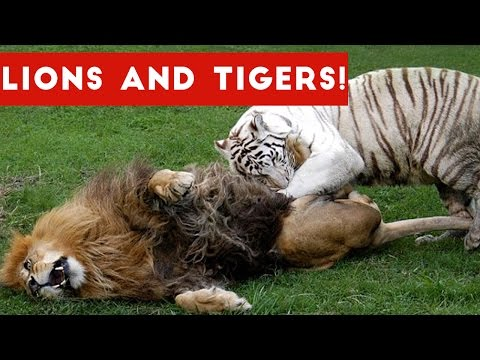 Funny Lion and Tiger Videos Weekly Compilation 2017 | Funny Pet Videos