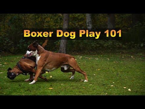 Vlog - Boxer Dog Play 101