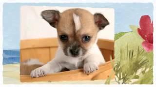 Chihuahua Training   How to train a Chihuahua