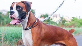 Stud Boxer Dog | Boxer Puppies Available By Dogsbreedofficial 2020