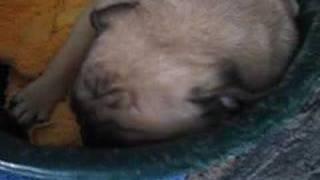 Pug Dog Snoring