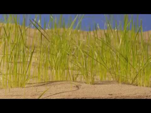 Green shoots, grass growing in Qatar desert. Timelapse