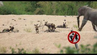 Elephant Vs Wild Dogs