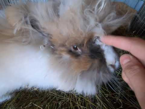 Using hay to keep angora rabbits happy, healthy and warm in winter