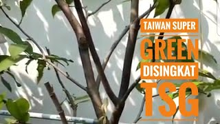 Bibit Benih Biji Tanaman Buah Jambu Air Super Green Taiwan