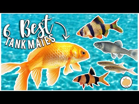 6 BEST TANK MATES For LARGE GOLDFISH! | Freshwater Fish Care