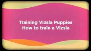 Training Vizsla Puppies