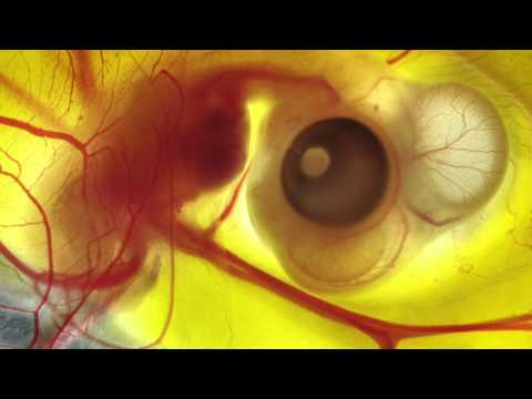 FLIGHT: The Genius of Birds - Embryonic development