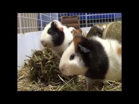 Beestenplein Pootjes 05   hooi voor cavia's en konijnen: wat en waarom?