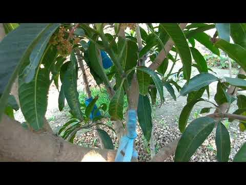 想吃「芒果」種一棵就夠了!