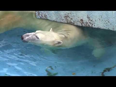 #10 Sep 2017 Shilka at Tennoji zoo, Osaka, Japan