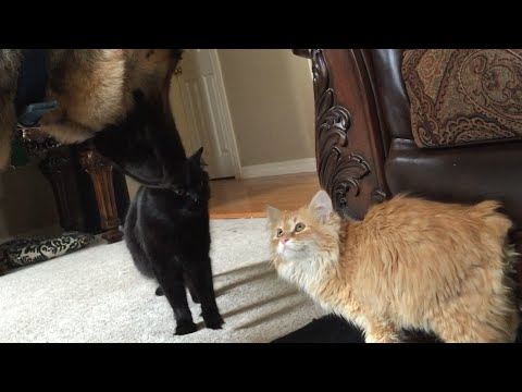 Rescued Kitten meets German Shepherd