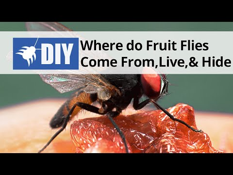 Where Do Fruit Flies Come From, Live, And Hide   YouTube