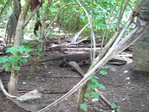 Komodo dragon on Komodo Island, Indonesia #1