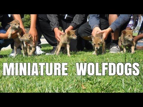 MINIATURE WOLFDOGS