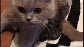 Первые роды шотландской вислоухой кошки/Мой опыт принятия родов