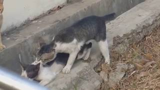Cats sex (mating) HD