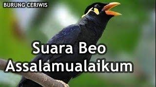 Suara Burung Beo Assalamualaikum Cocok Buat Masteran