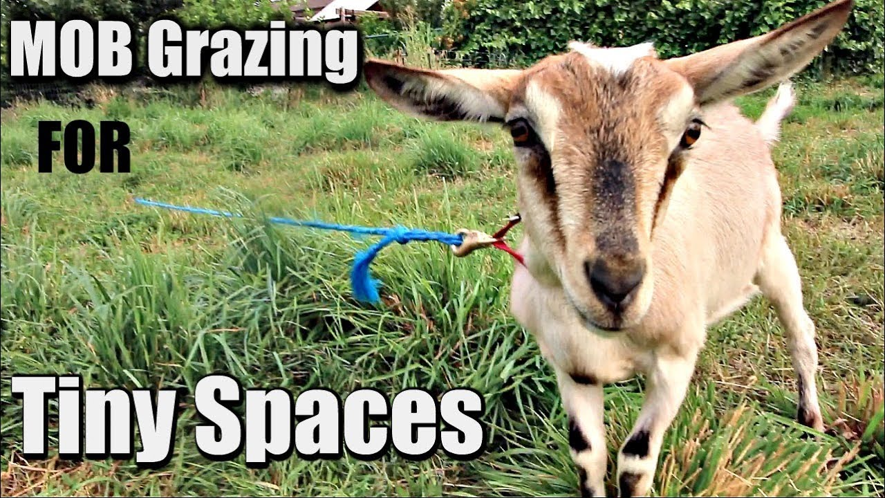 How to Make Your Own Grazing Tie-Outs For Mob Grazing On Tiny Acreage