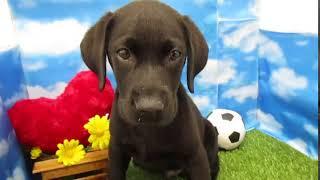 ペットショップ 犬の家 尼崎店 「79520:ラブラドール・レトリーバー」