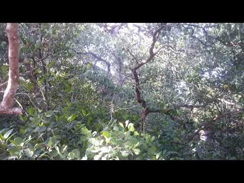 mengenal-dan-menelusuri-hutan-bakau-ada-pohon-batangnya-sekitar-150-cm-exploring-the-mangrove-forest