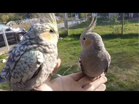 Trained cockatiel free flight