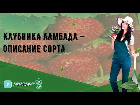 Клубника Ламбада — описание сорта