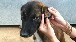 Remove a lot of Ticks From a Dog​ using Gasoline - Many Ticks on Dog Body