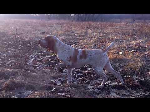 Bracco italiano pointing quail / Bracco italiano stójka do przepiórki