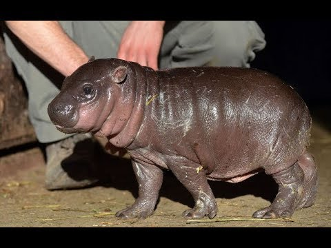 Go Kids TV - Wild Animals Cartoons Educational video Creative for Kids Hippo Rhino Cow Lion