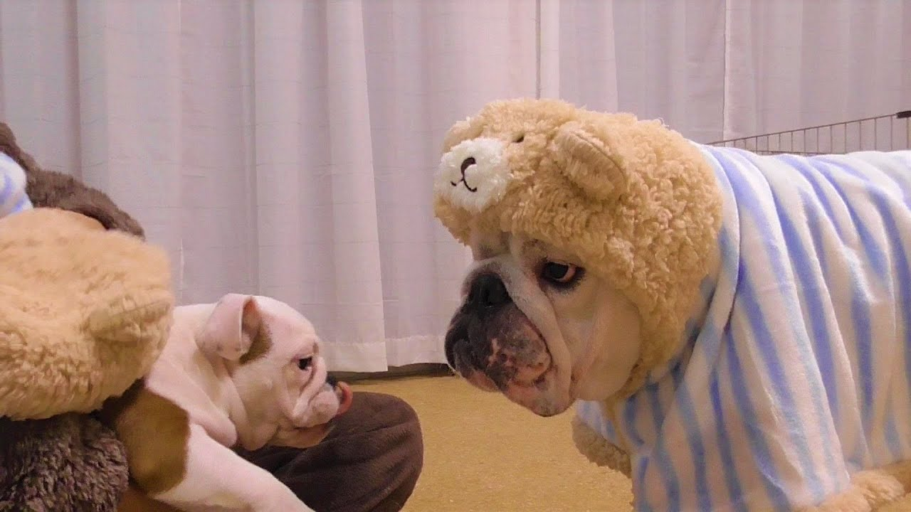 妹犬とお揃いのパジャマに兄はご不満のようです(笑)