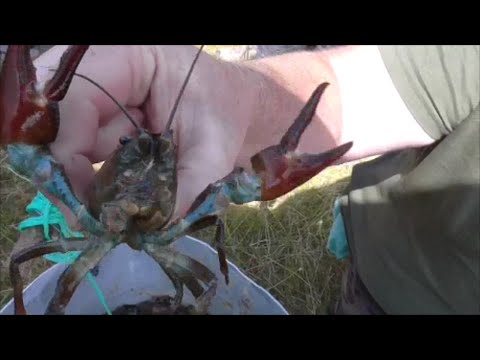 "Cray fish trapping ""Forage & Feast"""