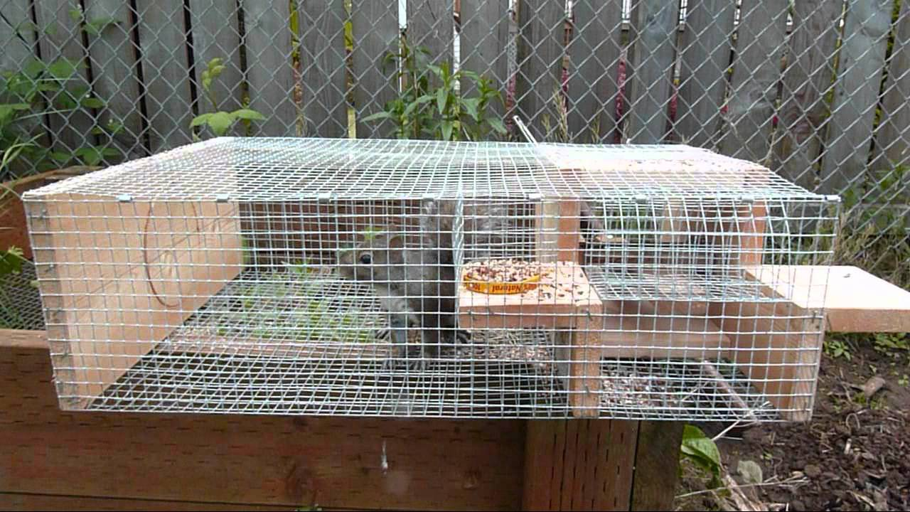 Squirrel in my Sparrow Trap   YouTube