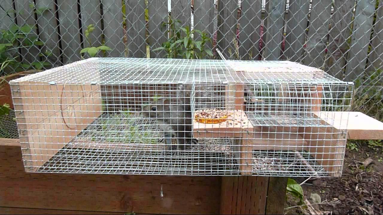 squirrel in my sparrow trap
